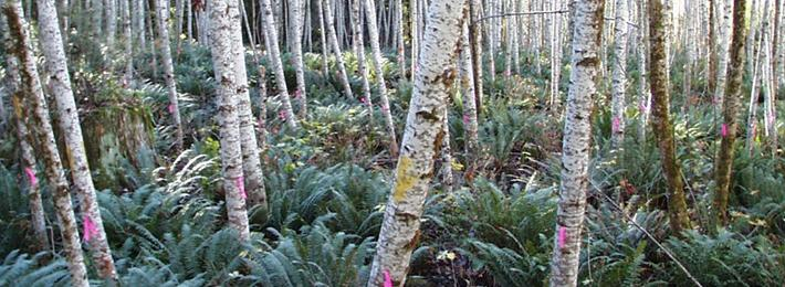 Thinned natural alder stand